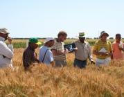 2007 wheat trainees learn scoring - CIMMYT - Flickr