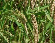 L'arrós, un dels cultius intensius més estesos.
