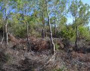 La regeneració del bosc després d'incendi (imatge: CREAF)