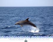 Dofí mular (foto: Projecte NINAM).