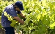 L'Olivera produeix vins i olis fomentant l'ocupació de persones amb discapacitat. Font: 7accents.cat