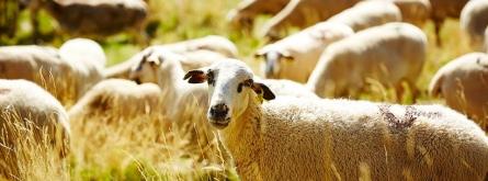 Les taques a la cara identifiquen a l'ovella Xisqueta, varietat declarada de protecció especial. Font: Associació Obrador Xisqueta