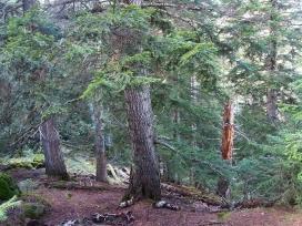 El bosc madur de l'avetosa de Cireres, a l'Alt Àneu, al Pirineu Català.