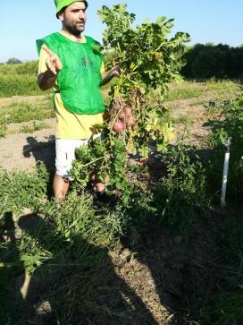 Les espigolades recuperen aliments que han estat cultivats però estaven destinats a esdevenir residus