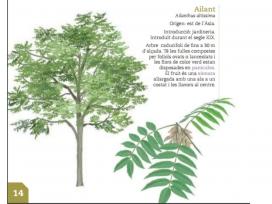 L'ailant és una espècie d'arbre invasor en  molts hàbitats, també  en el  bosc de ribera