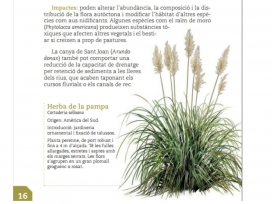 "La Cortaderia, coneguda com a ""herba de la Pampa"", es va fer servir en jardineria i ha esdevingut una espècie invasora"