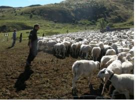 El voluntariat pot donar suport a la ramaderia i el pastoreig per afavorir la convivència amb l'ós