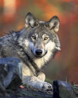 Les poblacions estables de llop es van extingir a Catalunya fa uns 100 anys. Les polítiques de conservació i recuperació han fet possible una lenta però constant recuperació a zones de la Península Ibèric, Itàlia i l'est i centre de França.(imatge: wikipedia/Gary Kramer)