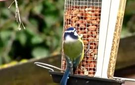 Alguns ocells venen al balcó o jardí atrets per les menjadores