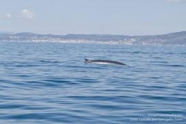Per l'estudi dels cetacis són molt importants els avistaments a la costa  i la identficació dels individus (imatge: Associació Cetàcea)