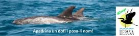 Depana proposa la campanya d'apadrinament del dofí cap d'olla, amb la que es pot contribuir al projecte de fotointerpretació dels cetacis de les costes catalanes (imatge: depana.org)