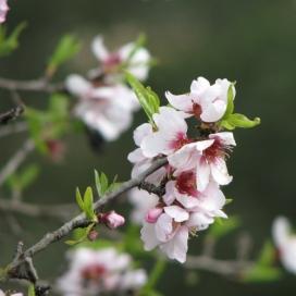 Per a fer el seguiment s'han seleccionat 10 espècies ben conegudes, com l'ametller (imatge:fenodato.net)