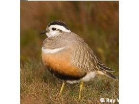La perdiu xerra és una de les espècies que es consideren prioritàries (imatge: Grup de Natura Solsonès)
