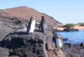 Pingüins a la Isla de Santa Cruz