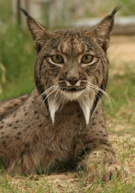 El linx ibèric (Linx pardinus) és el felí més amenaçat del planeta, (imatge: Programa de Conservación Ex-situ del Lince Ibérico www.lynxexsitu.es)