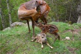 Conèixer la fauna salvatge del Pirineu és una de les activitats programades (imatge:monnaturapirineus.com)