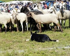 Concurs de Gos d'Atura de Castellterçol (Moianès - 2 d'octubre).