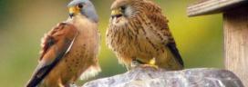 El xoriguer petit (Falco naumanni)  és un petit falcó que es va extingir de Catalunya a principis dels anys 80 a causa de la pèrdua d'hàbitats i l'ús indiscriminat d'insecticides al camp.Al 1990 es va reiniciar el projecte de reintroducció, amb el que col·labora l'entitat ambiental Paisatges Vius (imatge: paisatgesvius.org)