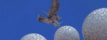 Una cria de falcó aterrant  a la Sagrada Família la primavera passada (imatge:Falcons Urbans)