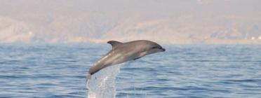 SUBMON estudia els dofins mulars de Cap de Creus des de fa tres anys. Font: SUBMON.