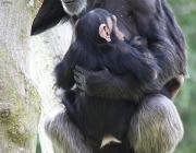 ximpanzés