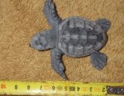 Exemplar de Tortuga babaua nascuda a la platja Llarga (Imatge: agricultura.cat)