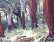 Bosc de sureres mediterrànies (imatge; menfri.eu)
