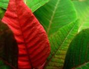 Fotografia d'una fulla vermella entre altres. Galeria de victor_nuno a Flickr