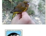 Jornada de voluntariat ambiental per l'anellament d'ocells a Banyoles (imatge: limnos )