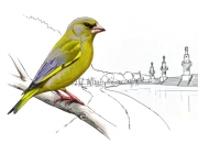 Atles dels ocells nidificants a Barcelona