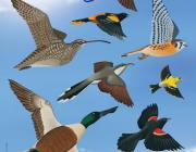 A l'octubre se celebra el Dia Mundial dels Ocells amb sortides de descoberta a diversos indrets de Catalunya Font: Dia Mundial dels Ocells