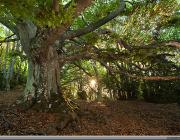 La fageda de Milany és un bosc madur d