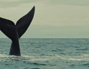 Les emocions i els detalls de la naturalesa presentats a La Ballena Franca sensibilitzen sobre el mar de la Patagònia. Font: La Ballena Blanca