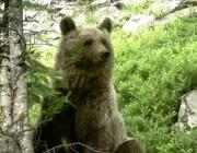 L'ós bru és un indicador de la qualitat de la natura a l'alta muntanya