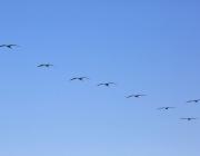 Ocells volant en grup. Cooperació_Don McCullough_Flickr