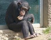 Ximpanzé del Congo. Font: Pixabay