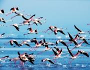 Flamencs sobrevolant el Parc Natural del Delta de l'Ebre (imatge; catalunya.com)