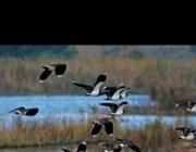 Setena edició del cens d'aus hivernants al Delta del Llobregat de Depana (imatge:depana.org)