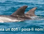 Imatge d'un dofí cap d'olla, protagonista de la campanya d'apadrinament de Depana (imatge: depana.org)