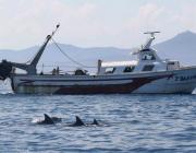 La població de dofins mulars ha minvat molt en els darrers 50 anys Font: SUBMÓN