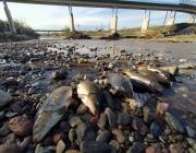 Peixos morts al riu Besòs a causa de l