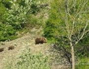 L'óssa i els seus cadells, enregistrades a la Vall d'Aran per Depana (imatge: Oriol Alemany)