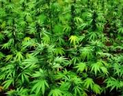 Planta de cànnabis. Font: cam.radio