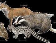 Teixò, guineu, geneta i xot, espècies del nostre entorn que es poden observar (imatge: naturaprop.com)