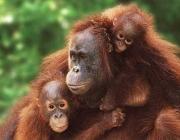 Família d'orangutans. Font: Faada