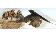 Les orenetes i els falciots són indicadors de la primavera, i també de la qualitat ambiental (imatge: ornitologia.org)