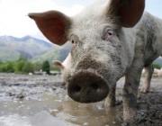 El Síndic de Greuges evidencia la manca de control sobre la contaminació per purins (imatge: naturalistesgirona.org)