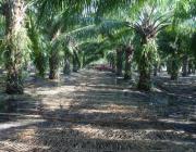 Plantació de palma africana. Font: Flickr. Autor: Hans Van Der Wal