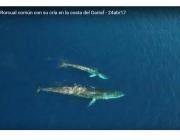 Una balena rorqual amb la seva cria enfront de les costes de Garraf