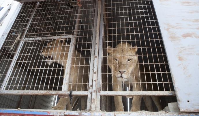 Mufasa i Simba són els dos lleons cedits a l'ONG Font: Fundació Primadomus